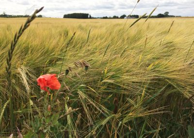 field and poppy